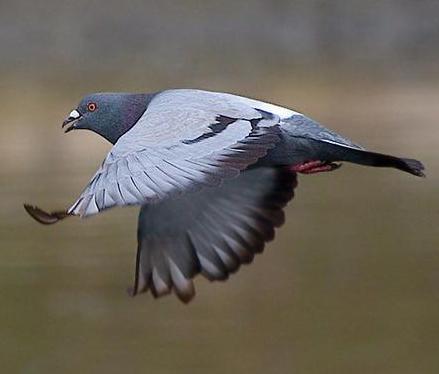 pigeon-flying